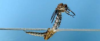 личинки комаров на участке